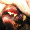 1.rozsáhlé resorptivní léze na krčcích premolárů kočky